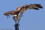 Osprey (Pandion haliaetus) (6239)