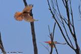 American Kestrel (Falco sparverius) (5901)