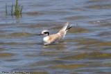 Juvenal Forster's Tern (Sterna forsteri) (5843)