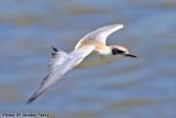 Juvenal Forster's Tern (Sterna forsteri) (5846)