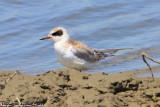 Juvenal Forster's Tern (Sterna forsteri) (6283)