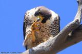 Peregrine Falcon (Falco peregrinus) (9908)