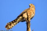 Cooper's Hawk (Accipiter cooperii) (0301)