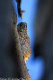 Cooper's Hawk (Accipiter cooperii) (0258)