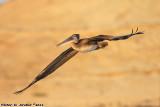Brown Pelican (Pelecanus occidentalis) (0388)