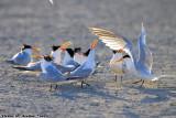 Royal Tern (Thalasseus maximus) (0172)