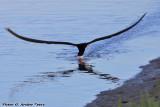 Black Skimmer (Rynchops niger) (9733)