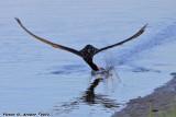 Black Skimmer (Rynchops niger) (9734)
