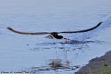 Black Skimmer (Rynchops niger) (9735)