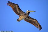 Brown Pelican (Pelecanus occidentalis) (9516)