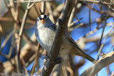White-crowned Sparrow (Zonotrichia leucophrys) (2936)