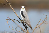 White-tailed Kite (Elanus leucurus) (2409)