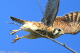 American Kestrel (Falco sparverius) (2384)
