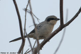 Loggerhead Shrike (Lanius ludovicianus) (2369)