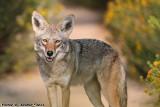 Coyote (Canis latrans) (1819)