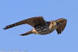 Merlin (Falco columbarius) (3607)