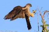 Merlin (Falco columbarius) (3646)