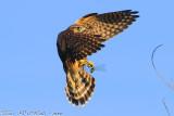 Merlin (Falco columbarius) (3654)