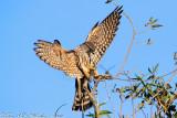 Merlin (Falco columbarius) (3656)