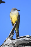 Western Kingbird (Tyrannus verticalis) (4533)