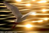 Snowy Egret (Egretta thula) (6083)
