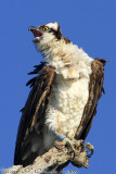 Osprey (Pandion haliaetus) (6484)