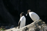 Razorbills kissing