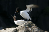 Razorbills mating