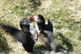Fighting puffins