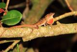 Brown Anole Lizard, Everglades National Park, Shark Valley, Florida