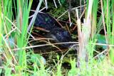 Alligator on stealth mode, Everglades National Park, Shark Valley, Florida