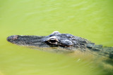Alligator close-up, Everglades National Park, Shark Valley, Florida