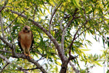 Short-talied Hawk, Everglades National Park, Shark Valley, Florida