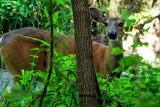 Deer at Wellington Park, Deer Grove Forest Preserve, IL
