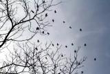 Morton Arboretum - migration