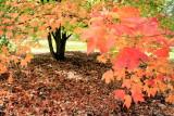 Morton Arboretum - Fall shade
