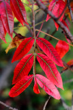 Morton Arboretum - Fall leaves