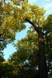 Morton Arboretum - Beauty of a tree