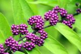 Morton Arboretum - wild berries