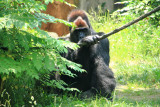 Cincinnati Zoo - Gorilla