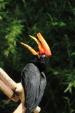 Cincinnati Zoo - Rhinoceros Hornbill