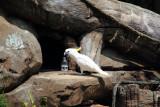 Cincinnati Zoo - Major Mitchell's Cockatoo