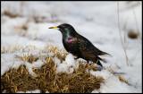Starling in snow near Ottenby Kungsgård