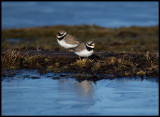 Ringed Plovers at a pond with blue ice