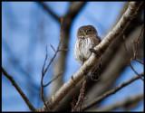 Pygmy Owl (Sparvuggla - Glaucidium passerinum) singing in daytime - Kosta