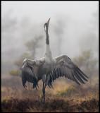A male Crane making his display on the breeding bog