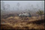 Together again at the big breeding bog near Lessebo - a pair of Cranes