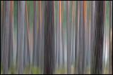 Pine forrest near Lessebo