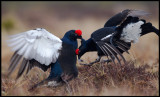 It is hard to be a male Black Grouse.... (notice the piece of feathers in the right birds bill!!!)