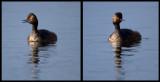 Black-necked Grebes in Lake Hornborga